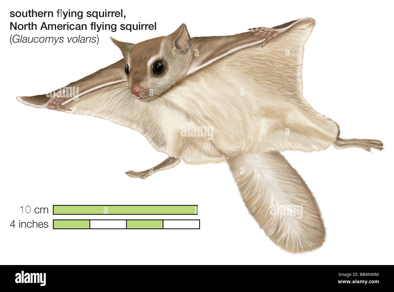 North American southern flying squirrel (Glaucomys volans) - Stock Image
