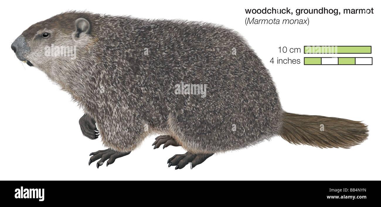 Groundhog (Marmota monax) - Stock Image