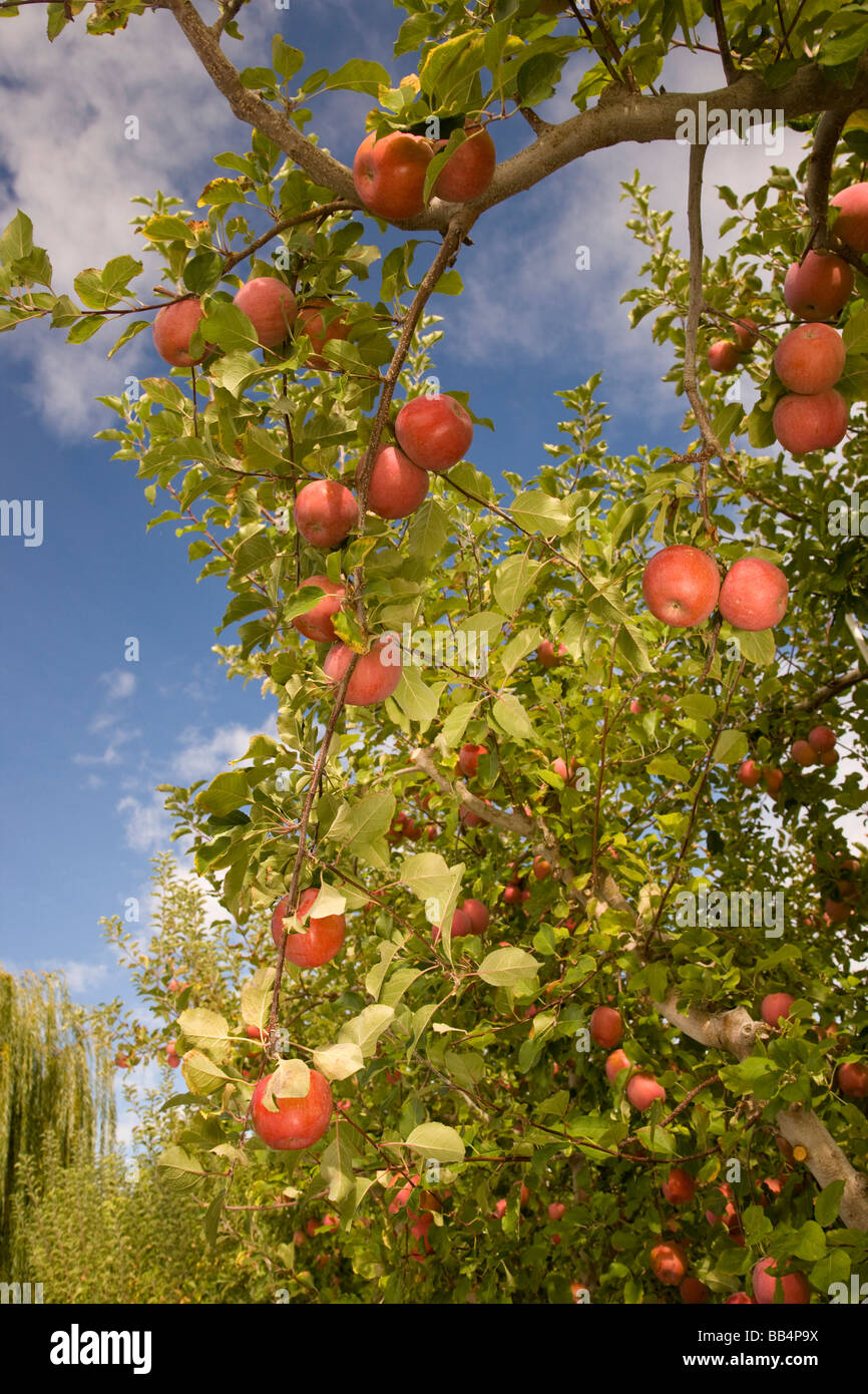 Jonagold Apples on Trees, Yakima Valley, Eastern Washington State, USA (RF) - Stock Image