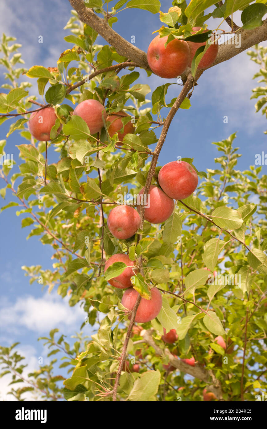 USA, Washington State, Yakima Valley. Jonagold Apples on Trees. Stock Photo