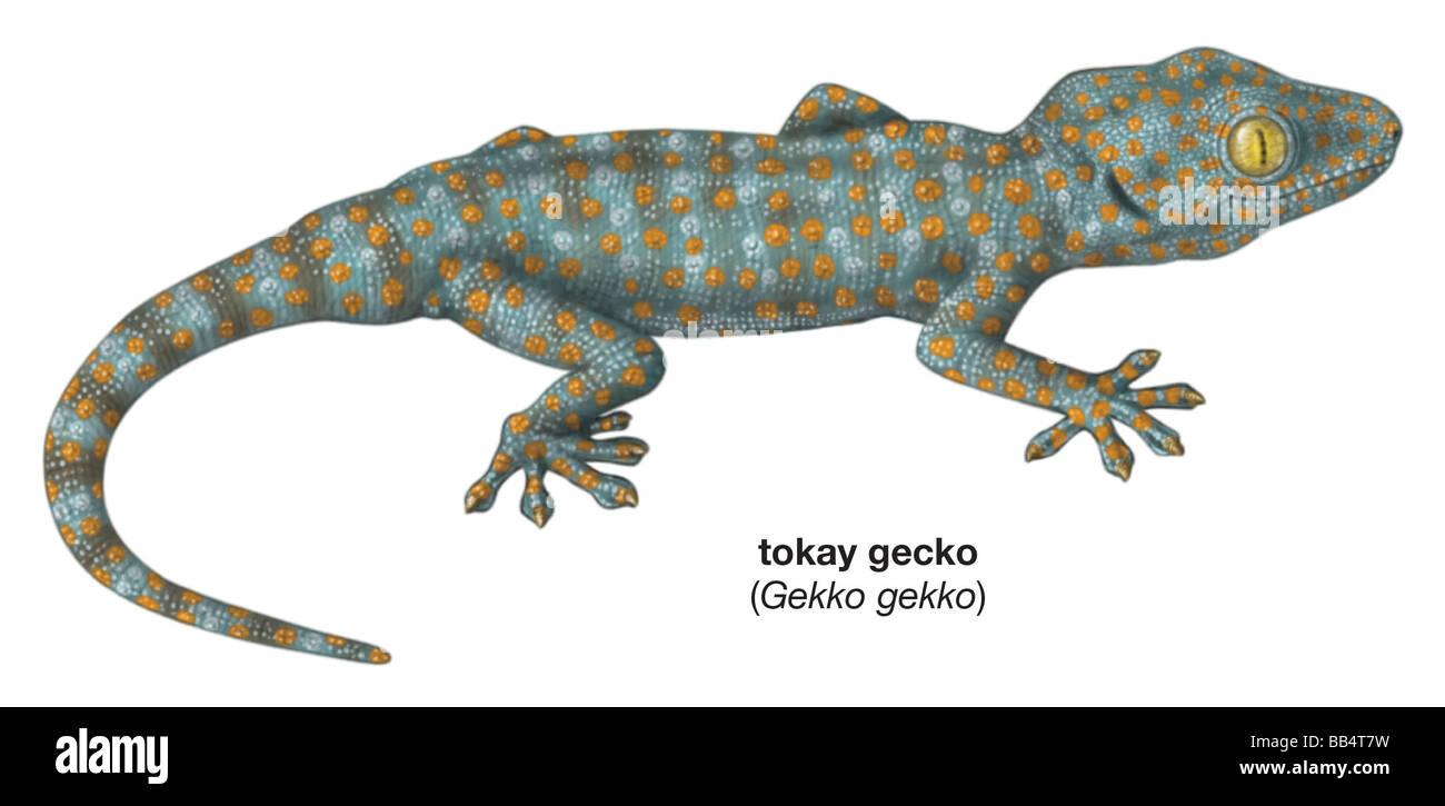tokay gecko gekko gecko stock photo 24078429 alamy