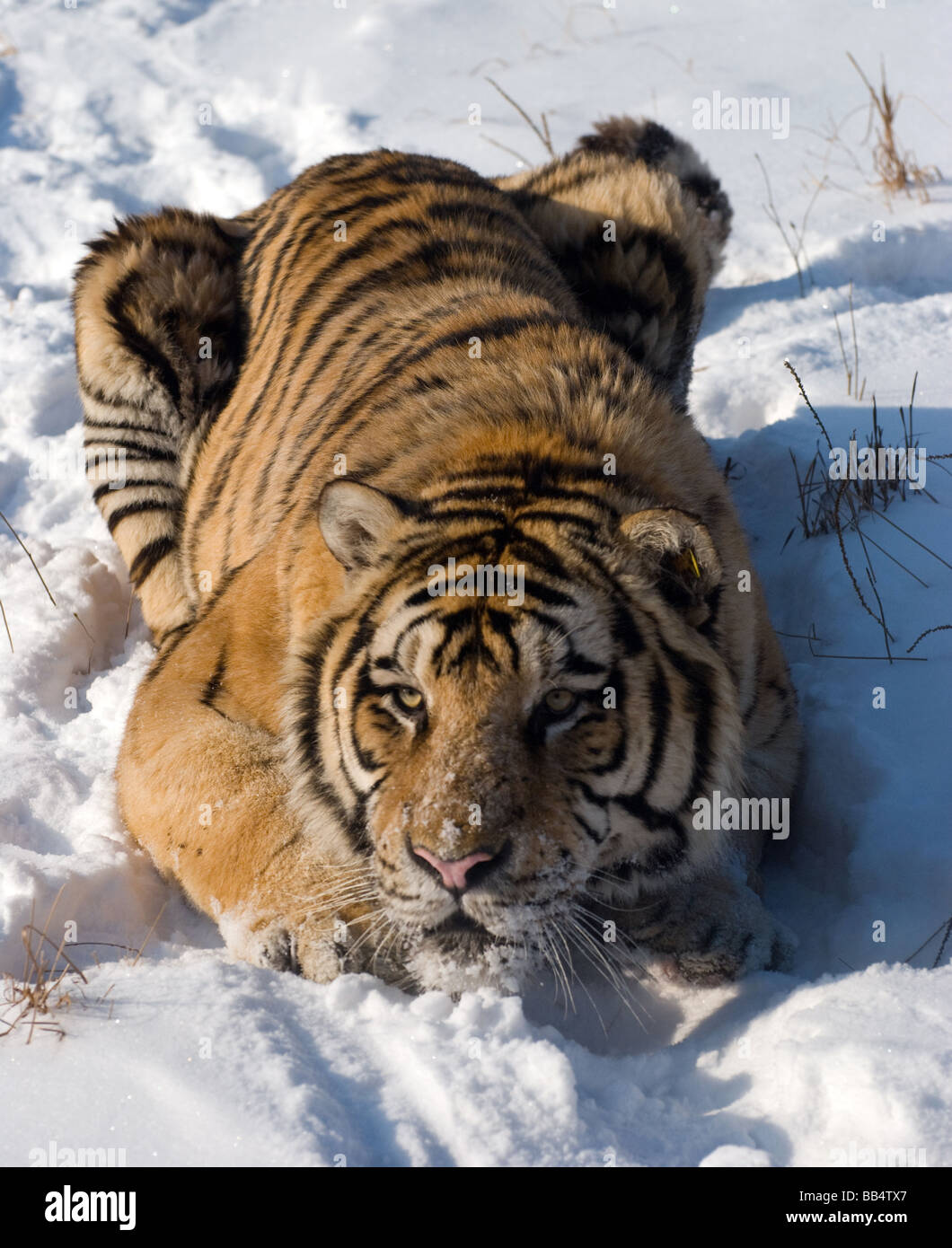 A siberian tiger poised to pounce in the winter snow of Harbin, China Stock Photo