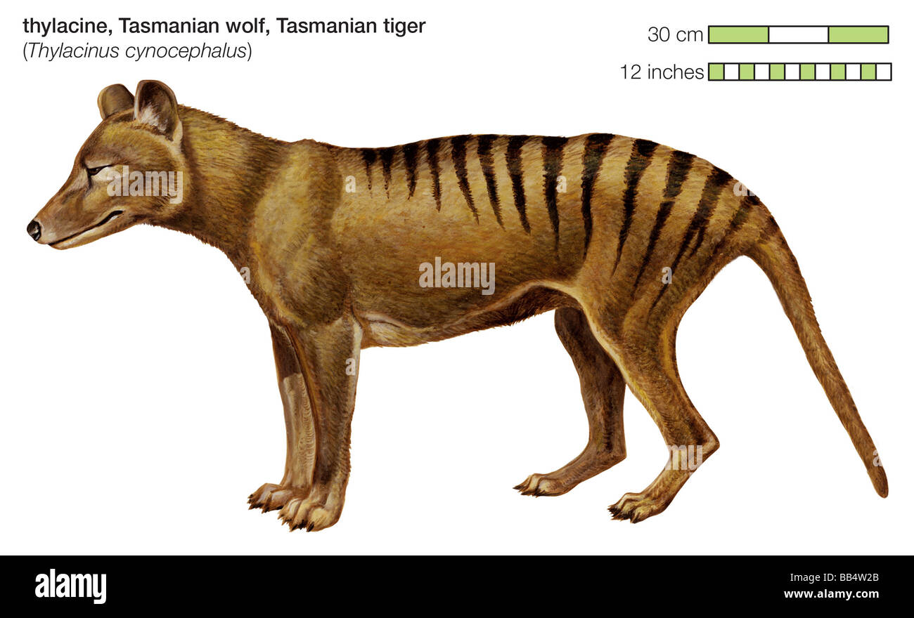 The Tasmanian tiger was a carnivorous marsupial found in Australia and New Guinea until its extinction in the 1930s. - Stock Image