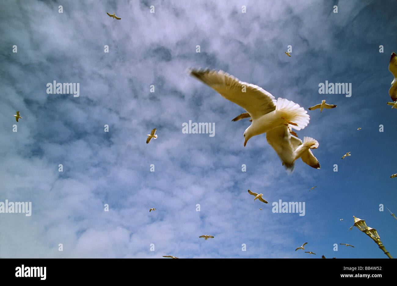 Sea gulls circling the port of Essaouira, Morocco, in search of food - Stock Image