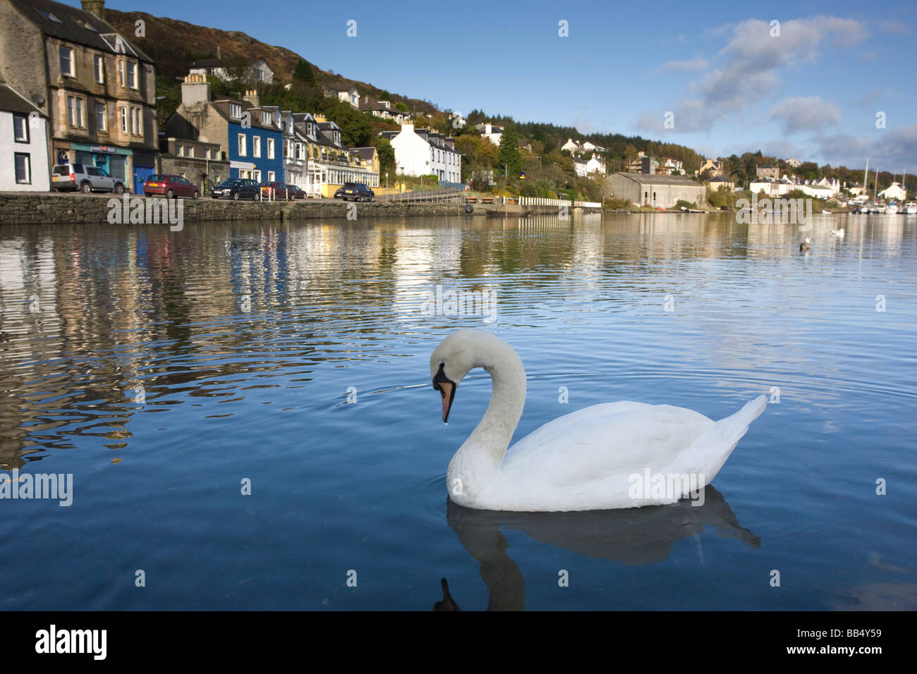 Swan and townscape; Tarbert, Scotland, UK - Stock Image