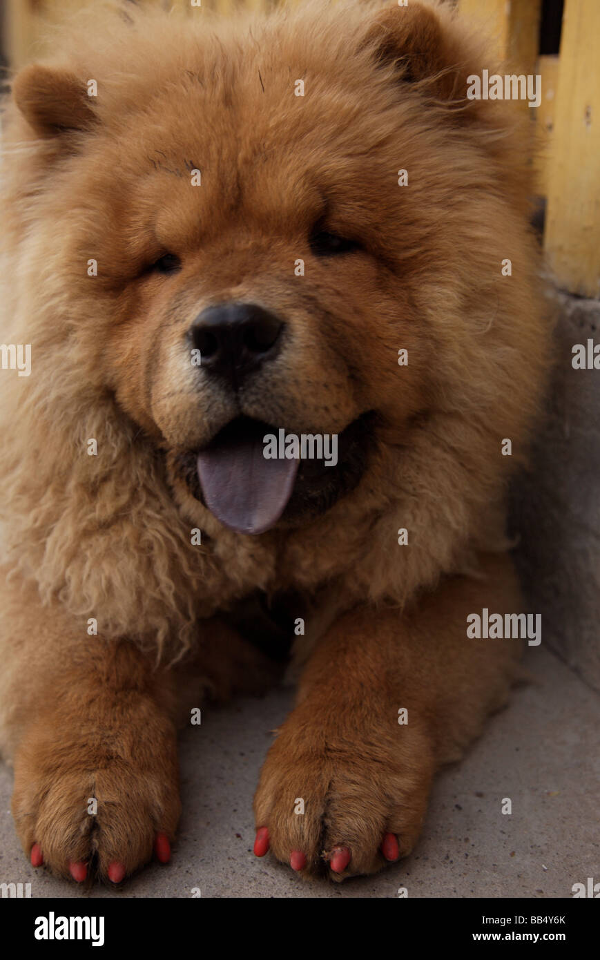 Chow Stock Photos Chow Stock Images Alamy