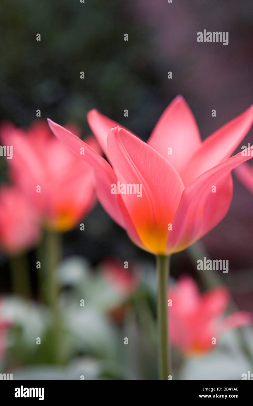 bright star shaped pink tulip - Stock Image