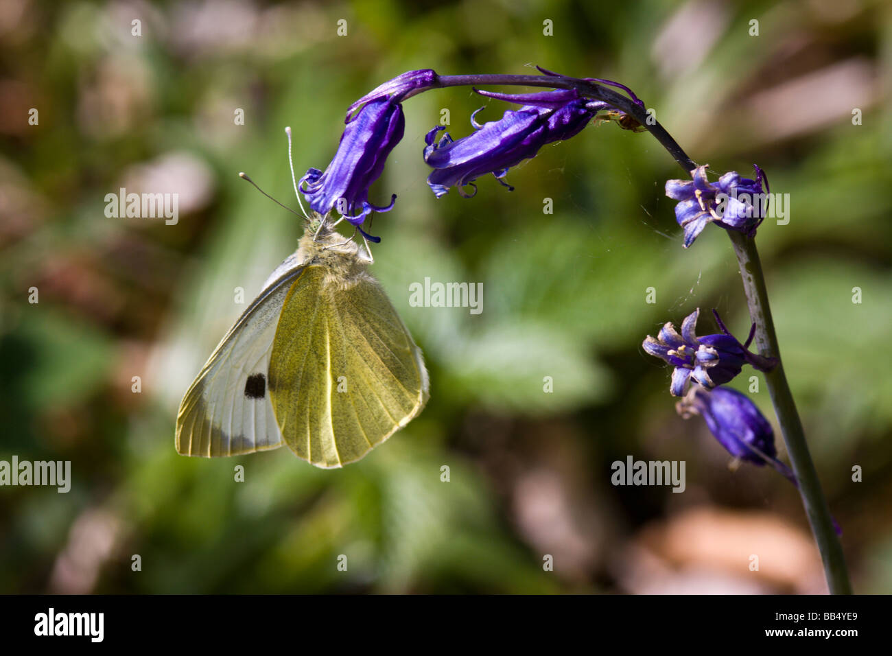Large White Butterfly on Bluebell - Stock Image