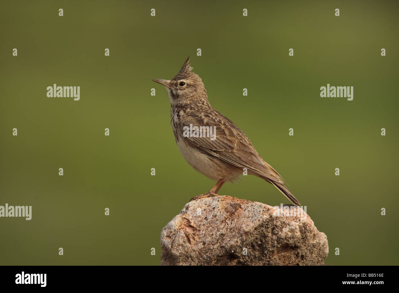 Crested Lark (Galerida cristata) perched on a rock, Lesvos Greece Stock Photo