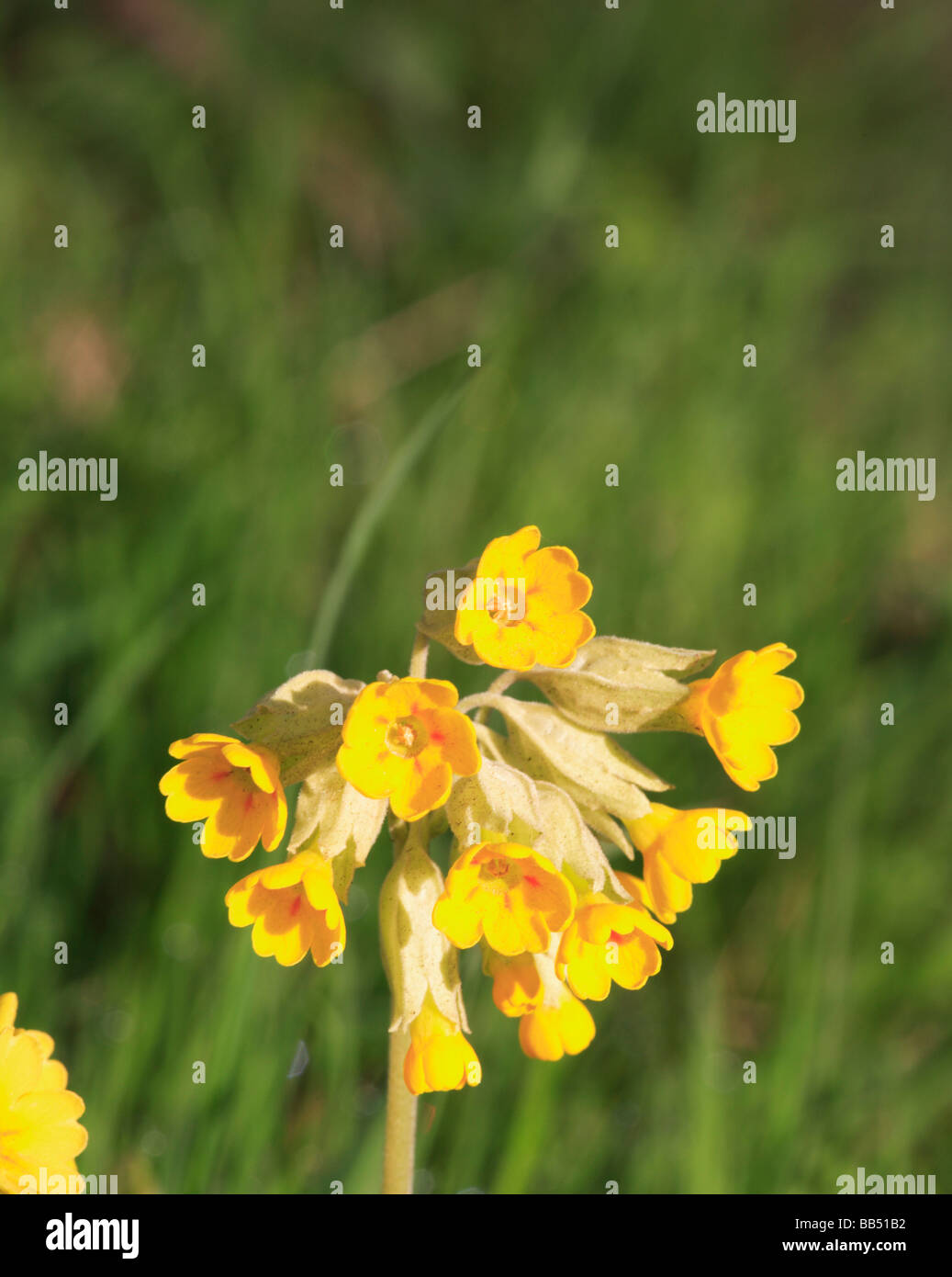 Detail of a single flower head of a Cowslip, Primula veris, in a country roadside verge in Norfolk, UK. Stock Photo