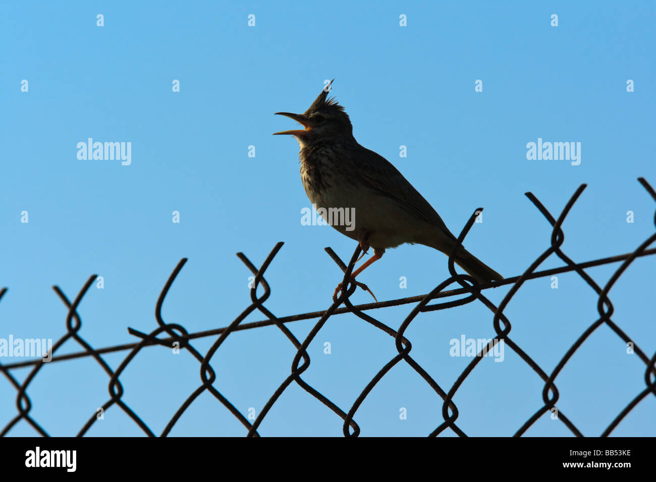 A silhouetted Crested Lark (Galerida cristata) singing on a fence, Lesvos, Greece Stock Photo