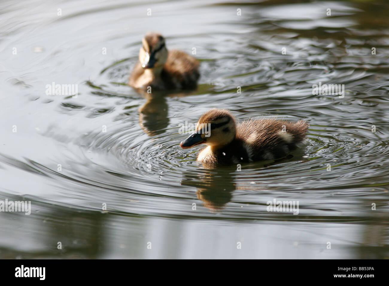 Pair of cute Mallard ducklings, UK - Stock Image