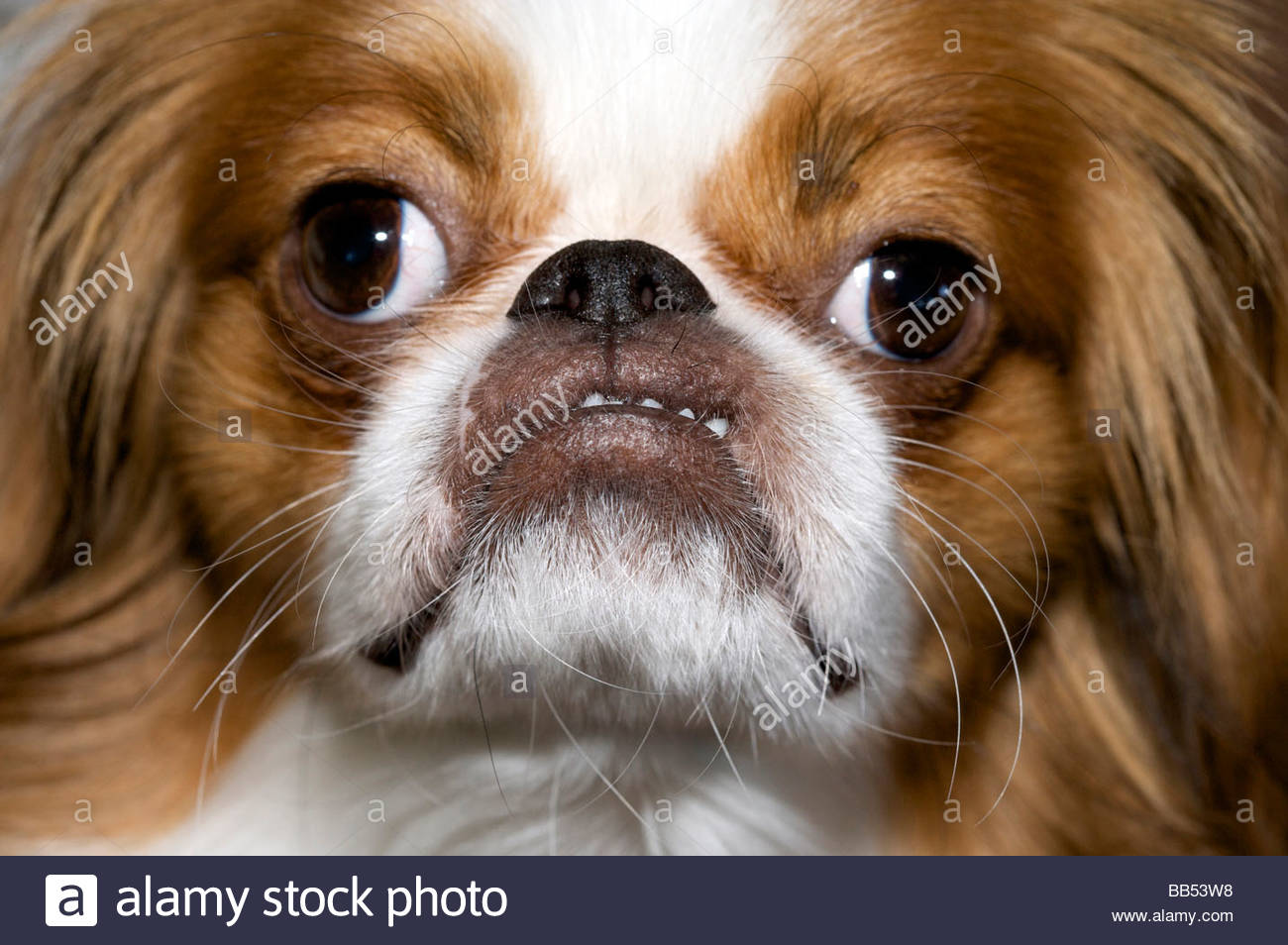 Little dog pulling a funny face stock photo 24084404 alamy little dog pulling a funny face voltagebd Gallery