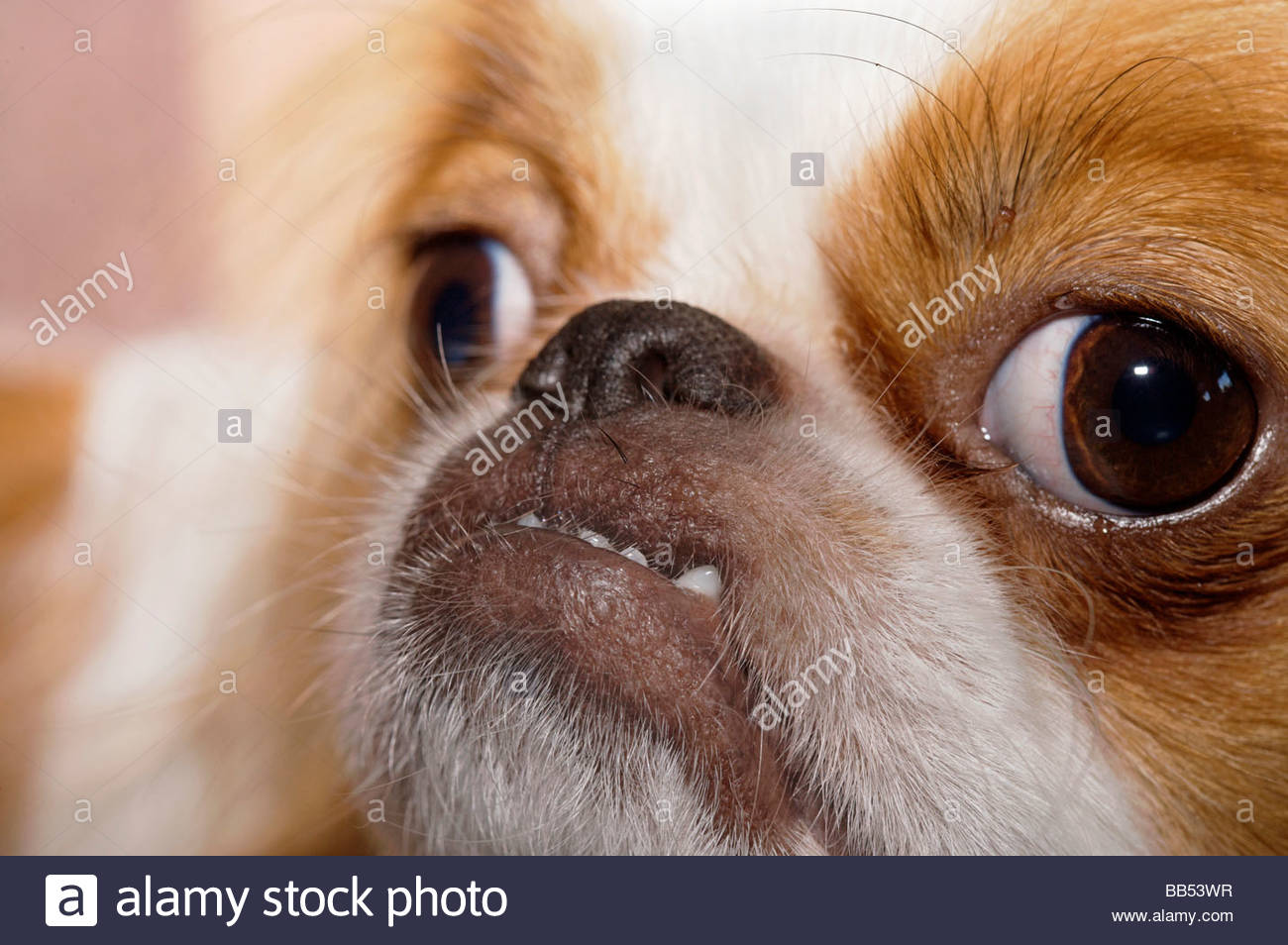 Little dog pulling a funny face stock photo 24084419 alamy little dog pulling a funny face voltagebd Image collections