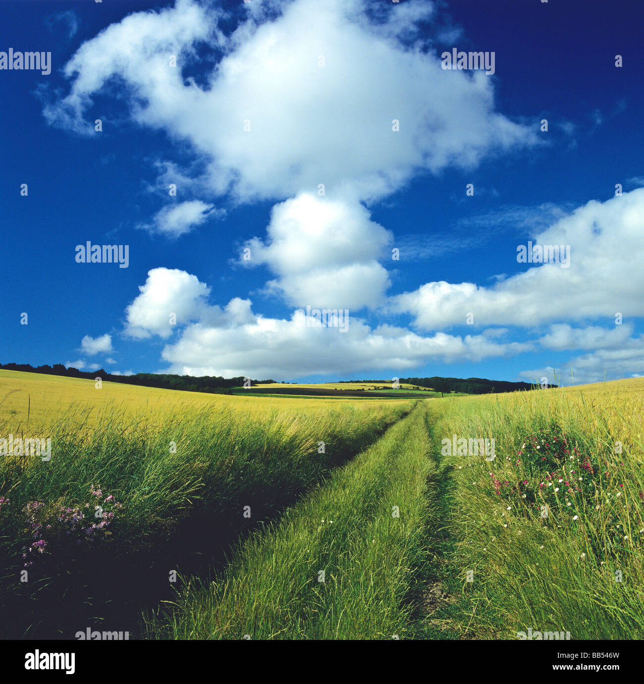 Grassy  path in the middle of a wheat field in Auvergne. France. - Stock Image