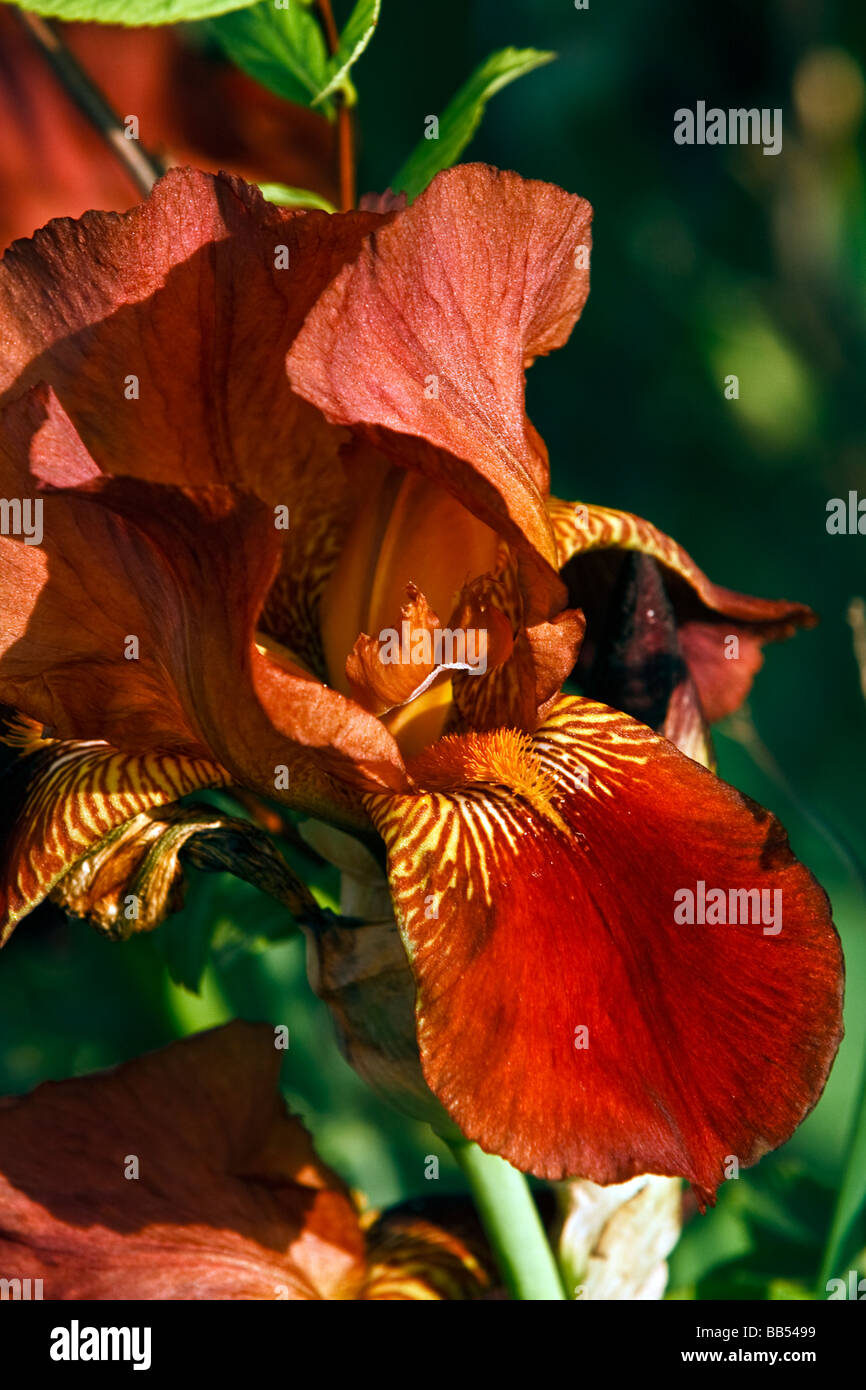 Red Iris Flower Iridaceae Stock Photos Red Iris Flower Iridaceae