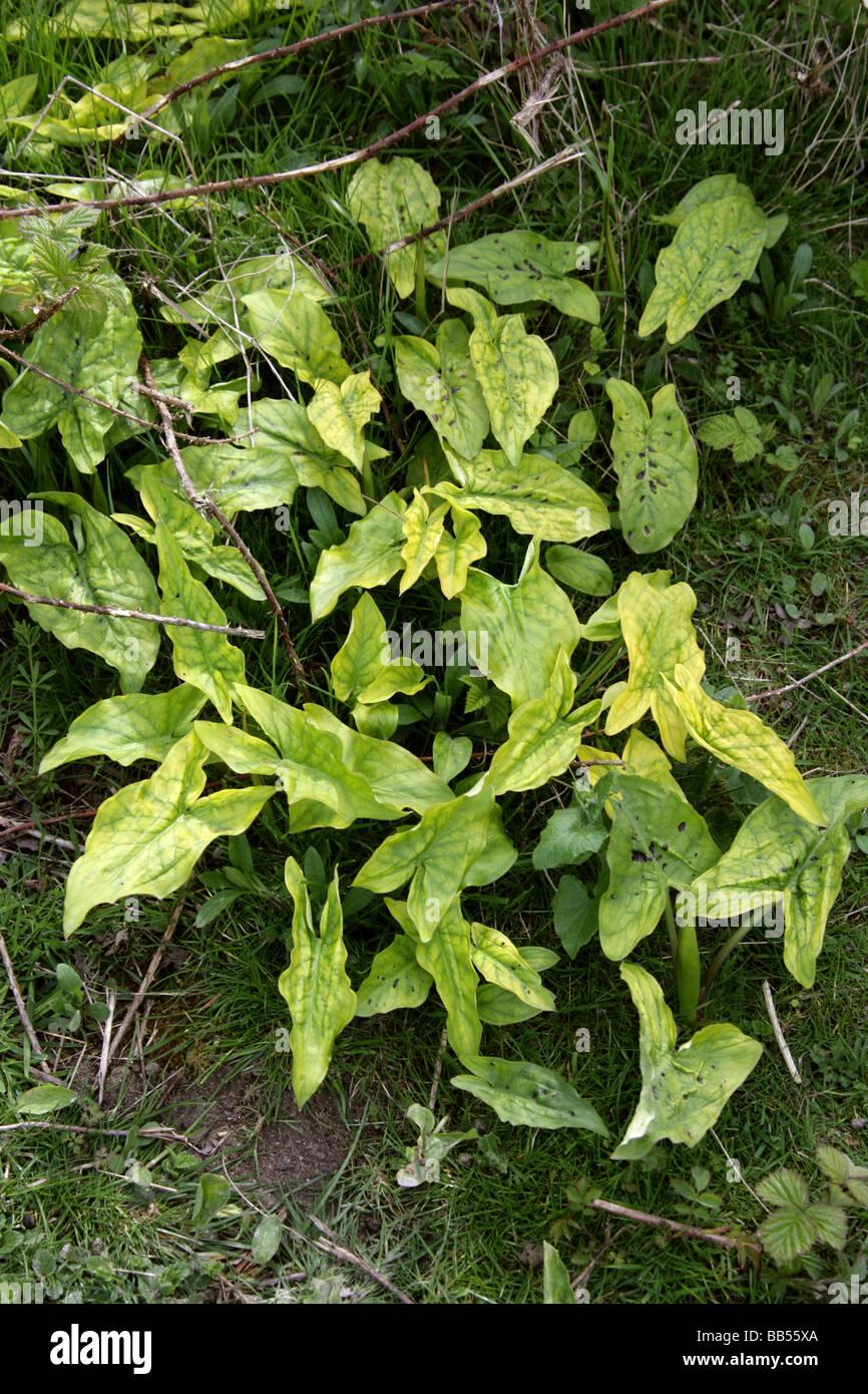 Cuckoo Pint, Arum maculatum, Araceae, Aka Lords and Ladies, Cuckoo Pintle and Wake Robin. Early Spring Before Flowering. - Stock Image