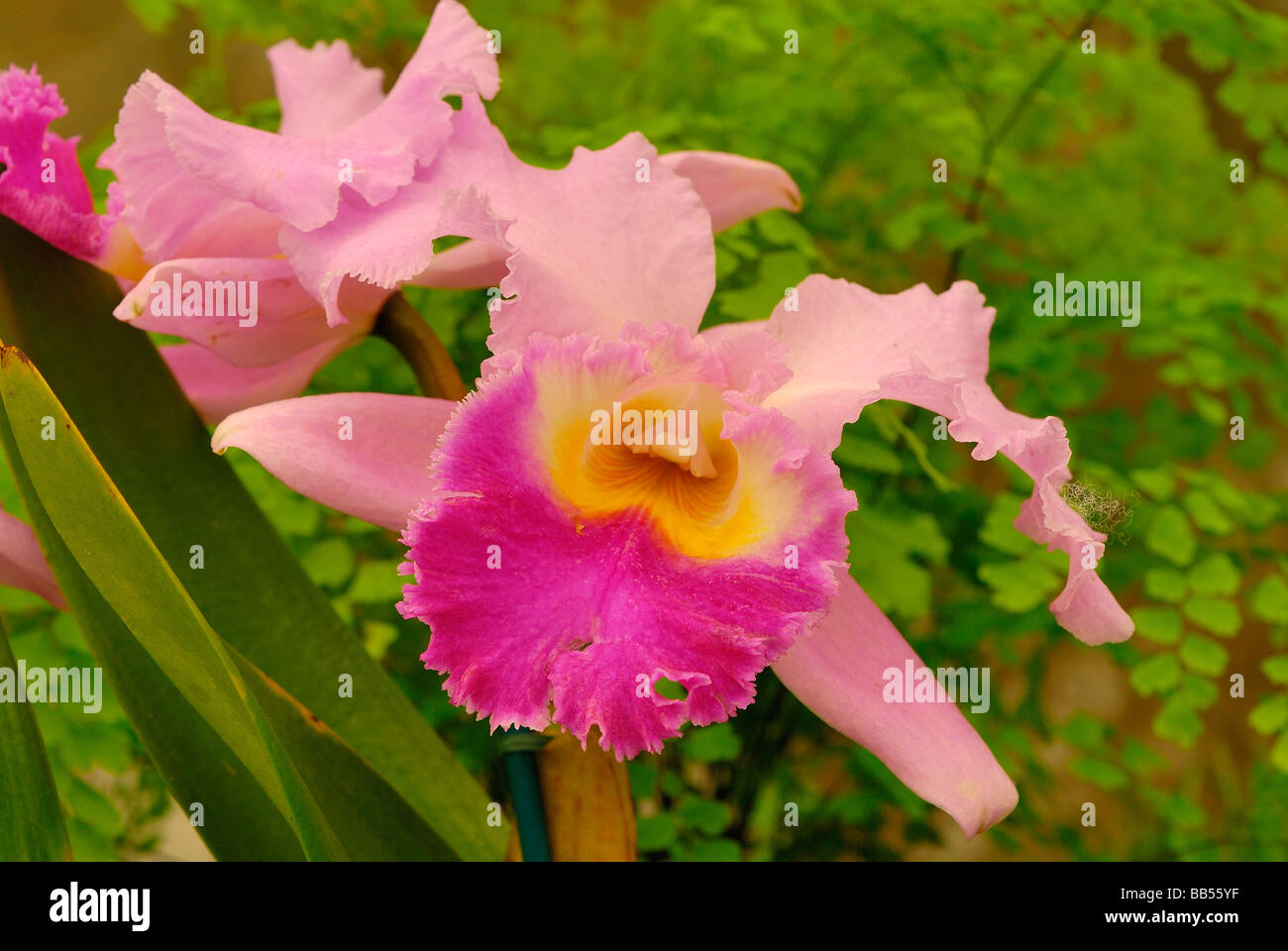Orchid Cattleya sp. Orchidaceae - Stock Image