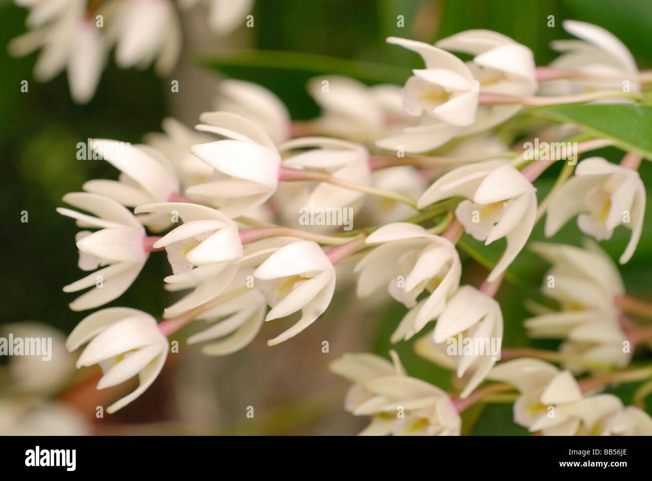 Cephalanthera longifolia Orchidaceae - Stock Image