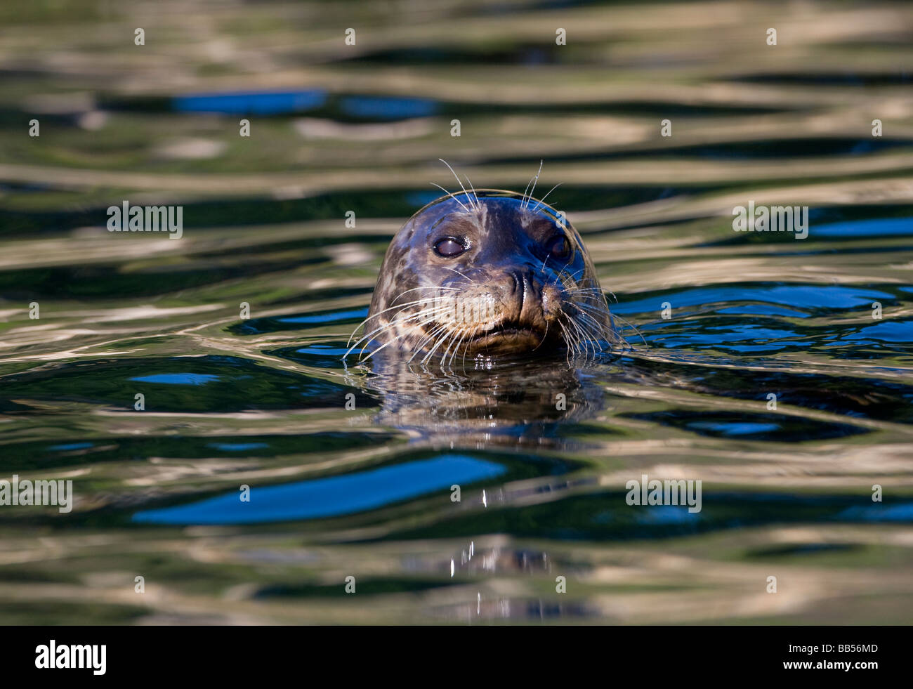 Harbor seal (Phoca vitulina) in Monterey Bay, California. - Stock Image
