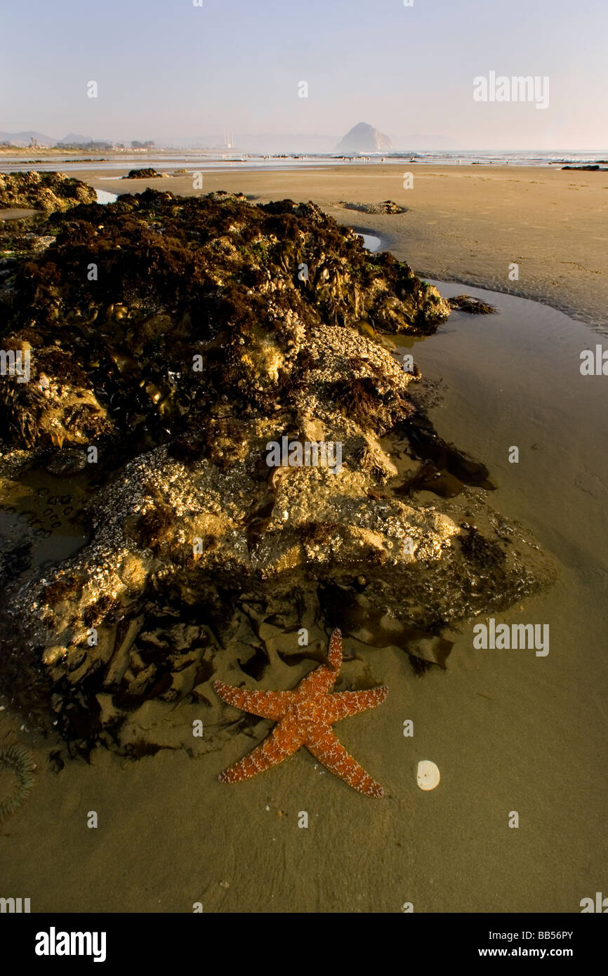 A sea star sits in a tide pool at Morro Stand State Beach Morro Bay CA - Stock Image