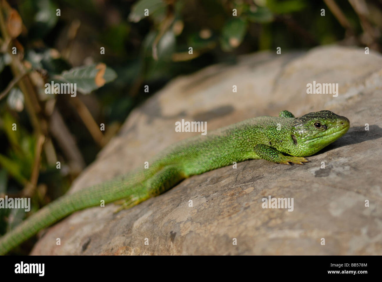 European green lizard Lacerta viridis, Lacertidae, Luni sul Mignone, Tolfa Mountains, Viterbo, Lazio, Italy Stock Photo