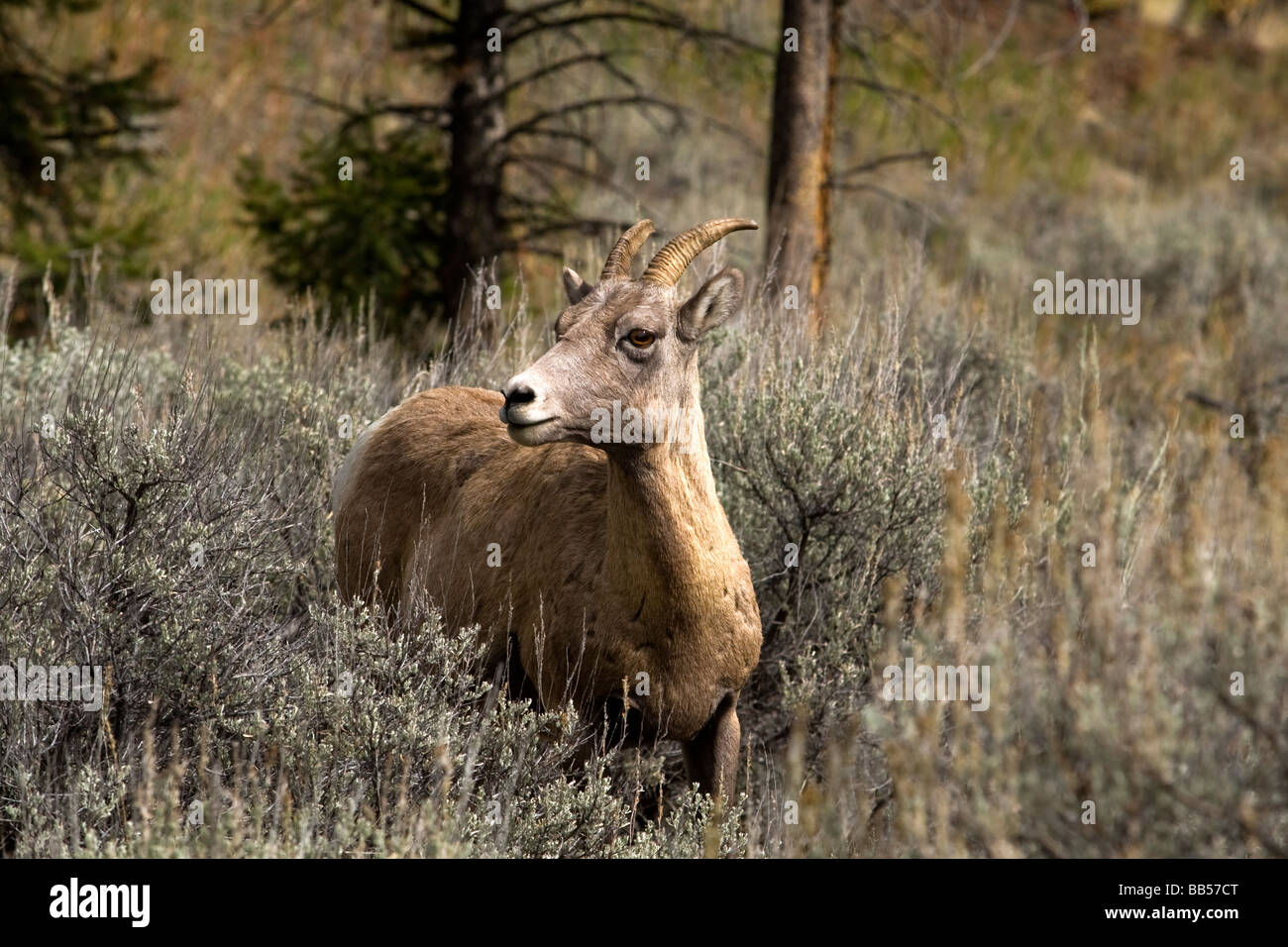 Big Horn Sheep in Yellowstone National Park. - Stock Image