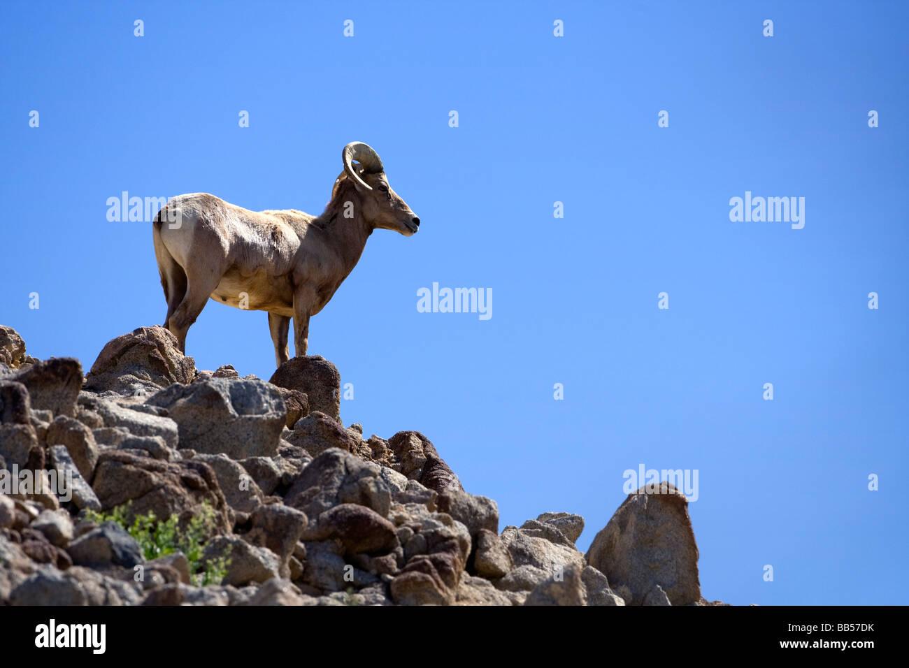 Big Horn Sheep in Anza Borrego Desert State Park, California. - Stock Image