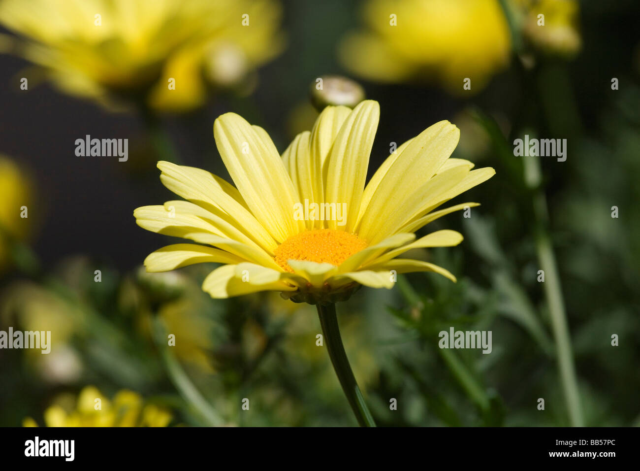 Single yellow flower with low depth of field - Stock Image