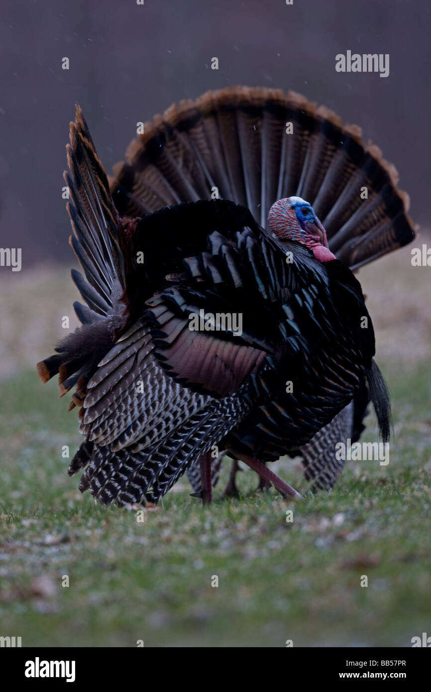 Wild Turkeys (Meleagris gallopavo) - Males In Springtime display -New York - Stock Image