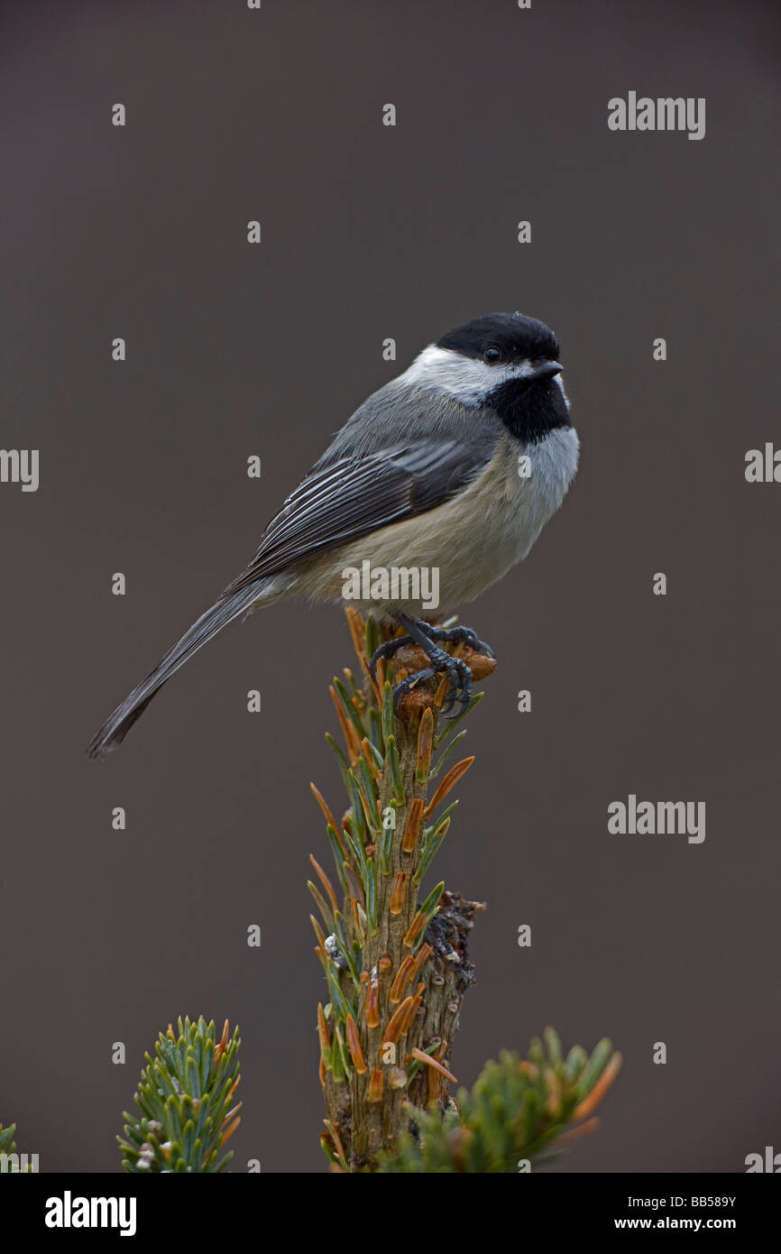 Black-capped Chickadee (Poecile atricapilla) New York - USA - Most widespread chickadee - Found in a variety of - Stock Image