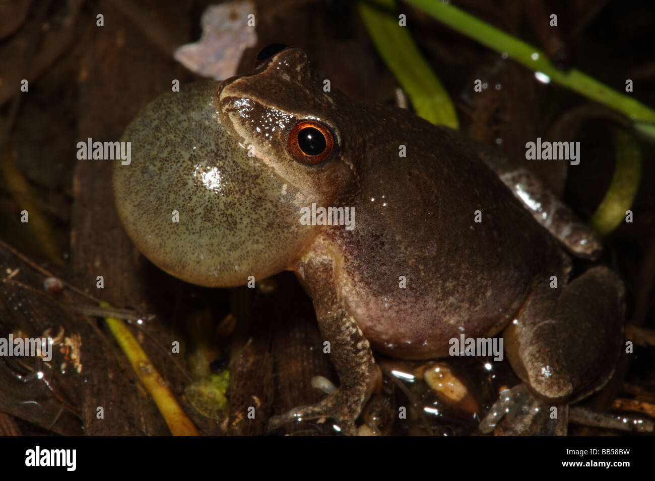 Spring Peeper Pseudacris Crucifer Male Calling To Attract Female New Bb Bw