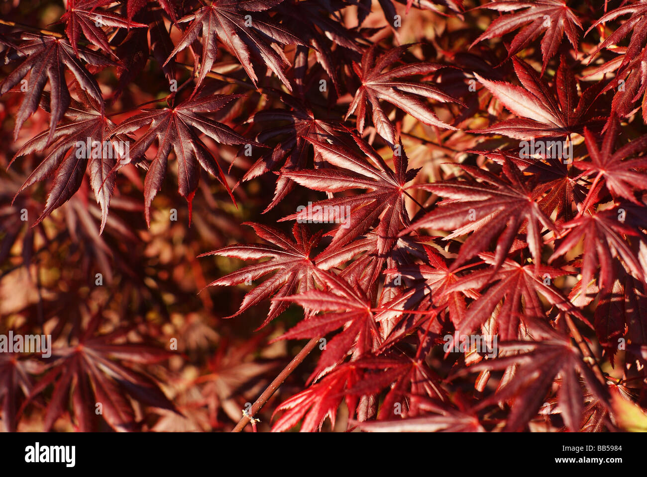 Acer Palmatum - Stock Image