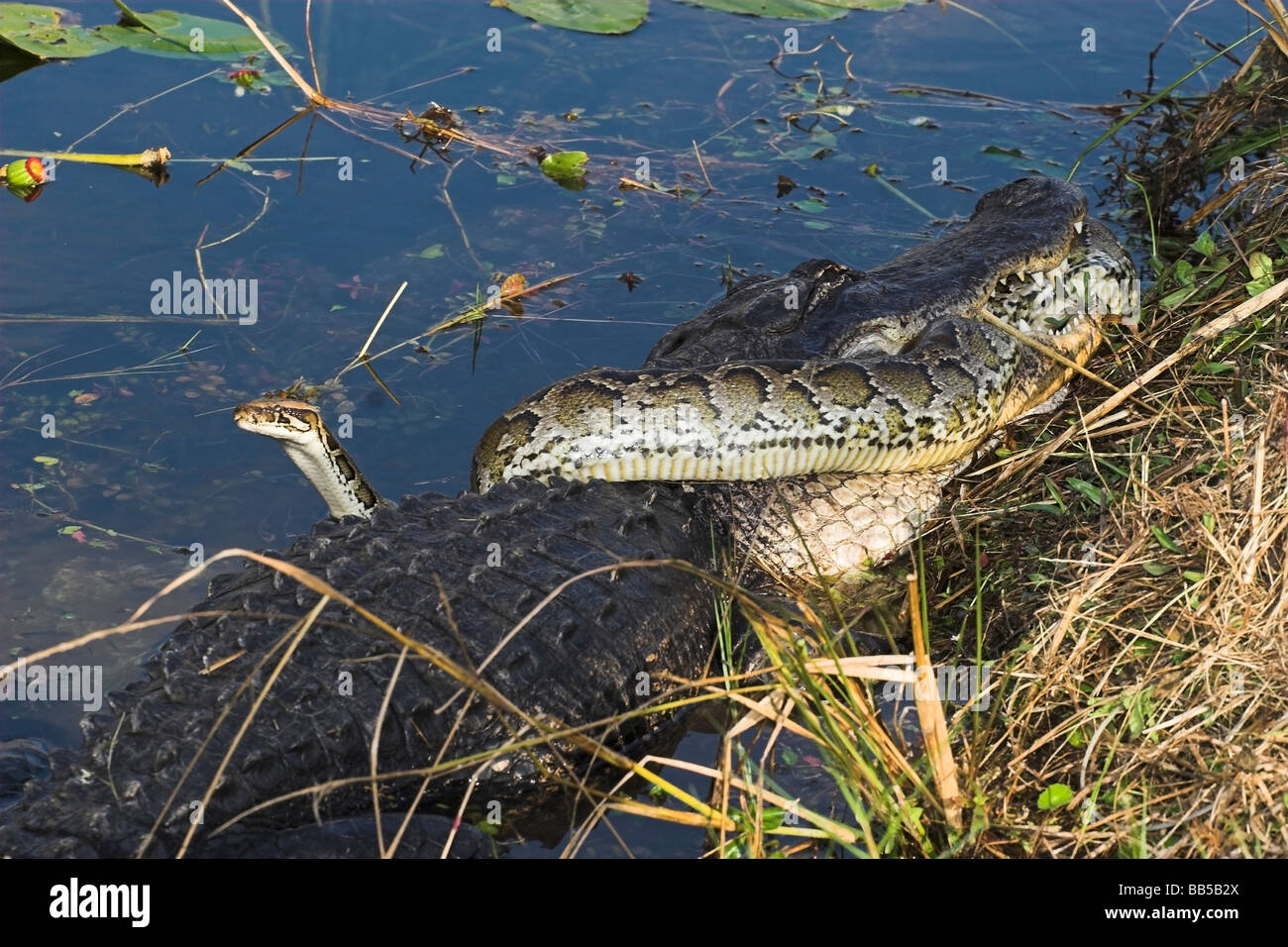 An American Alligator battles a large (non native ) python in the Florida everglades national park . - Stock Image