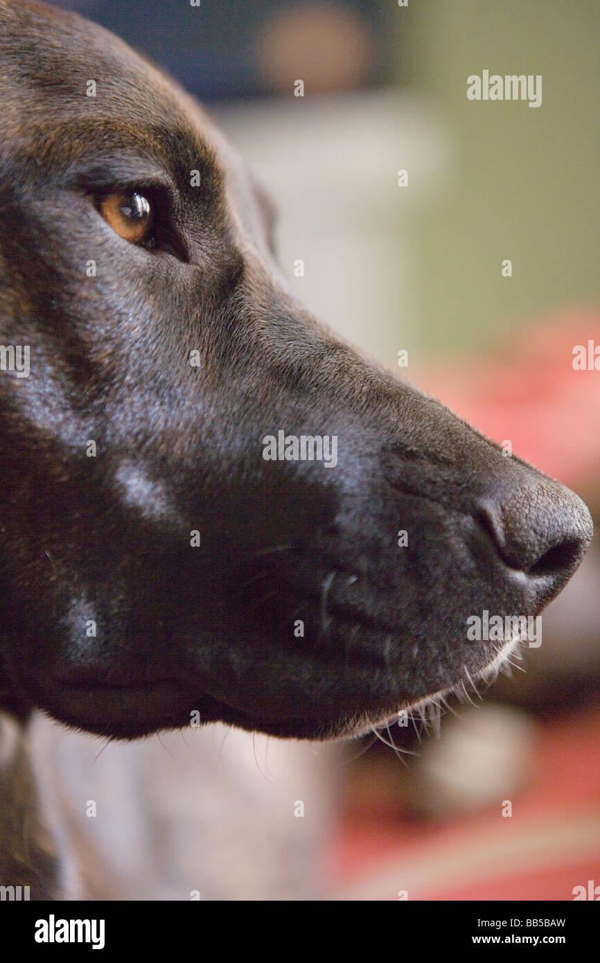 profile of retriever-lab mix dog - Stock Image
