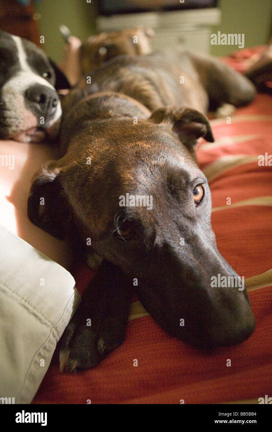 close up of dogs sleeping on a bed looking sad - Stock Image