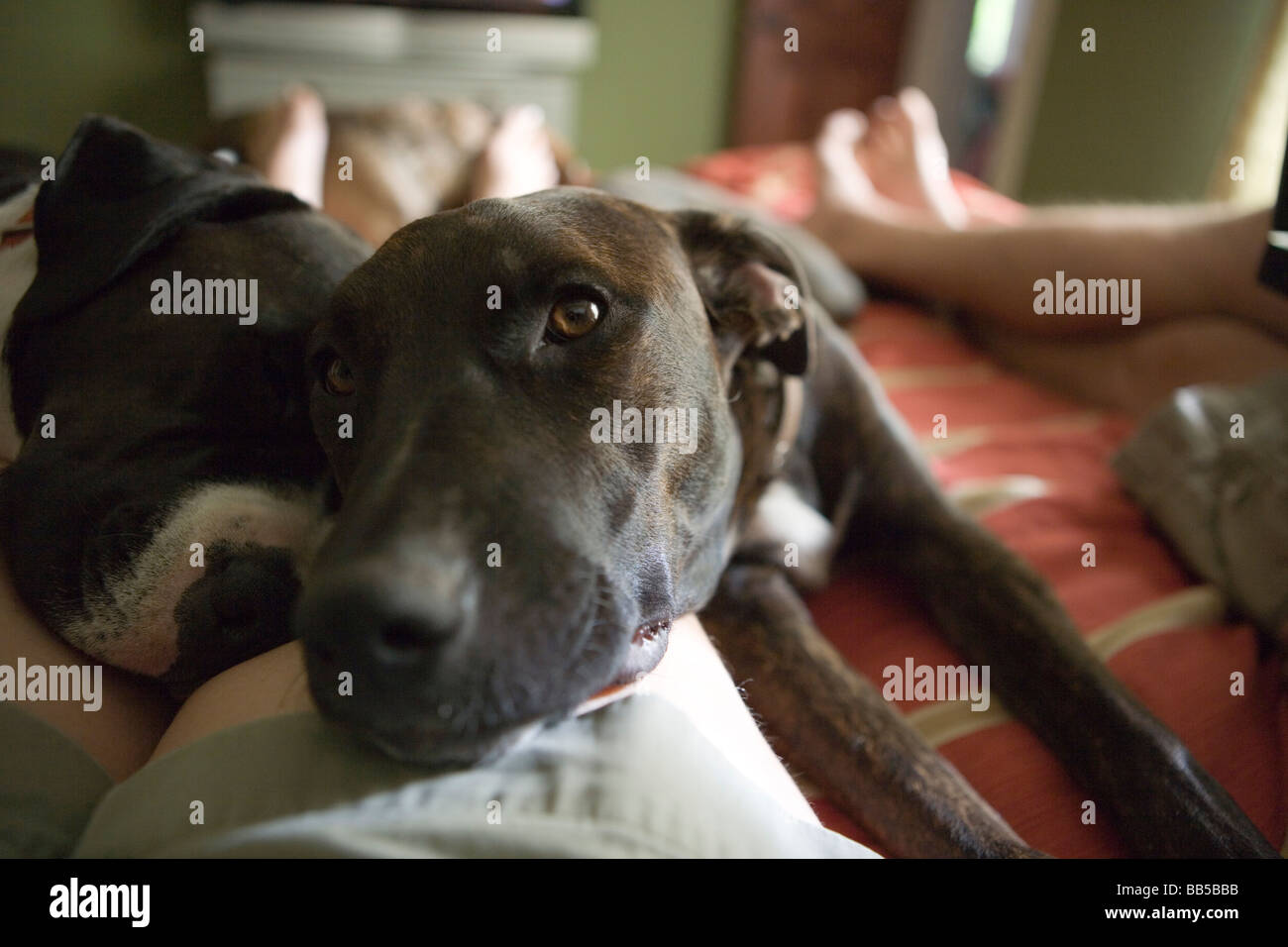 close up of two dogs resting on a person's leg, laying on bed in bedroom, eye contact with camera - Stock Image