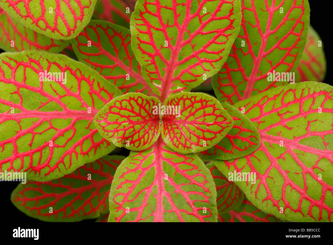 Fittonia leaf detail showing red and green patterning - Stock Image