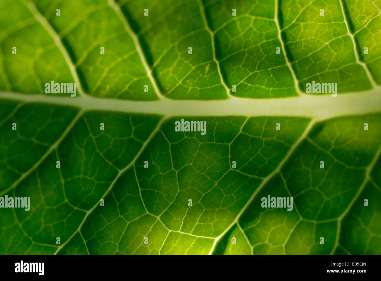 Selective focus Dandilion leaf detail Stock Photo
