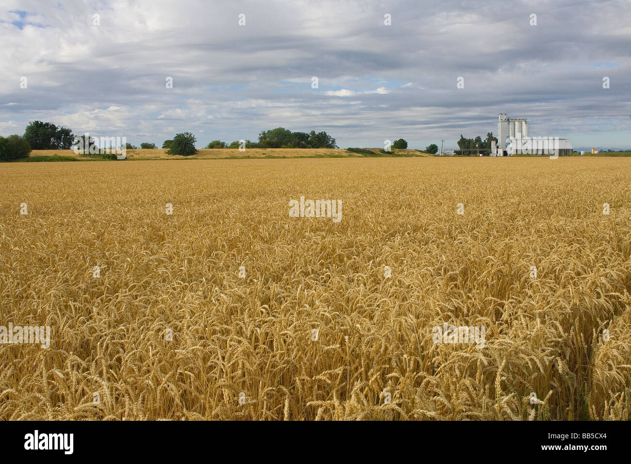 Wheat field in the Sacramento Valley near the Delta - Stock Image