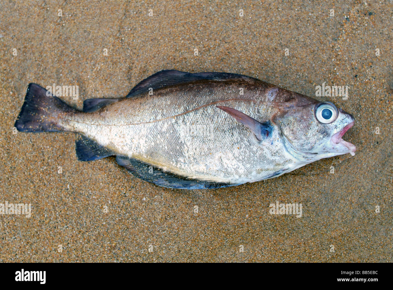 A dead fish washed up on a the sand - Stock Image