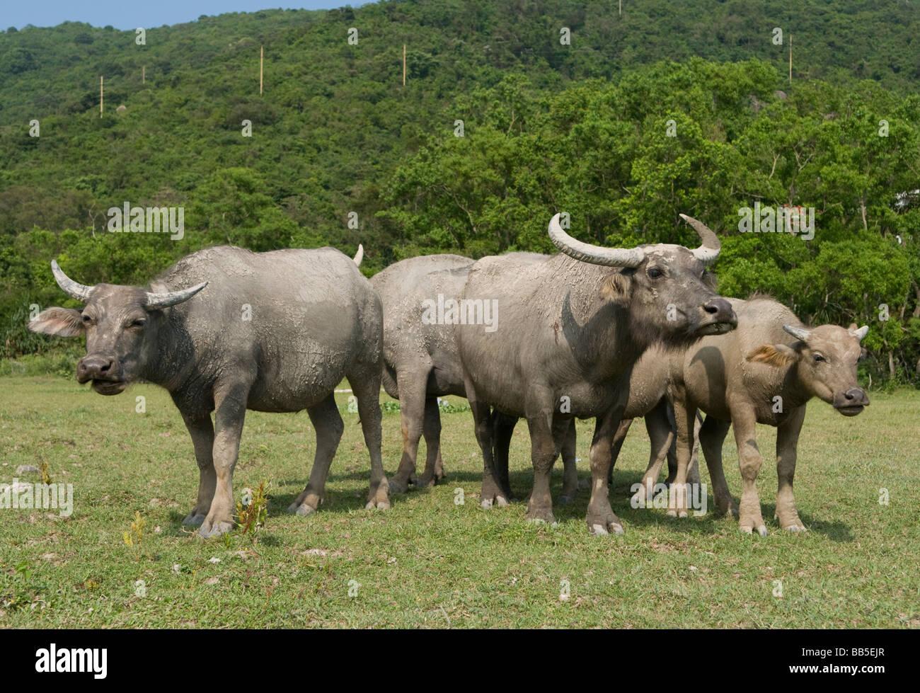 A herd of feral water buffalo at Pui O Lantau Island Hong Kong. - Stock Image