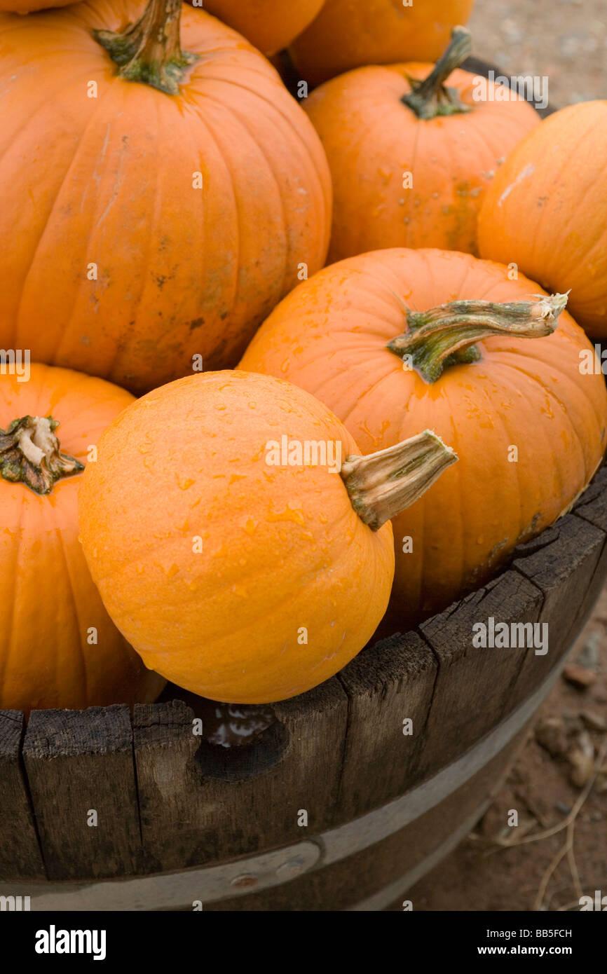 pumpkins in a barrel - Stock Image
