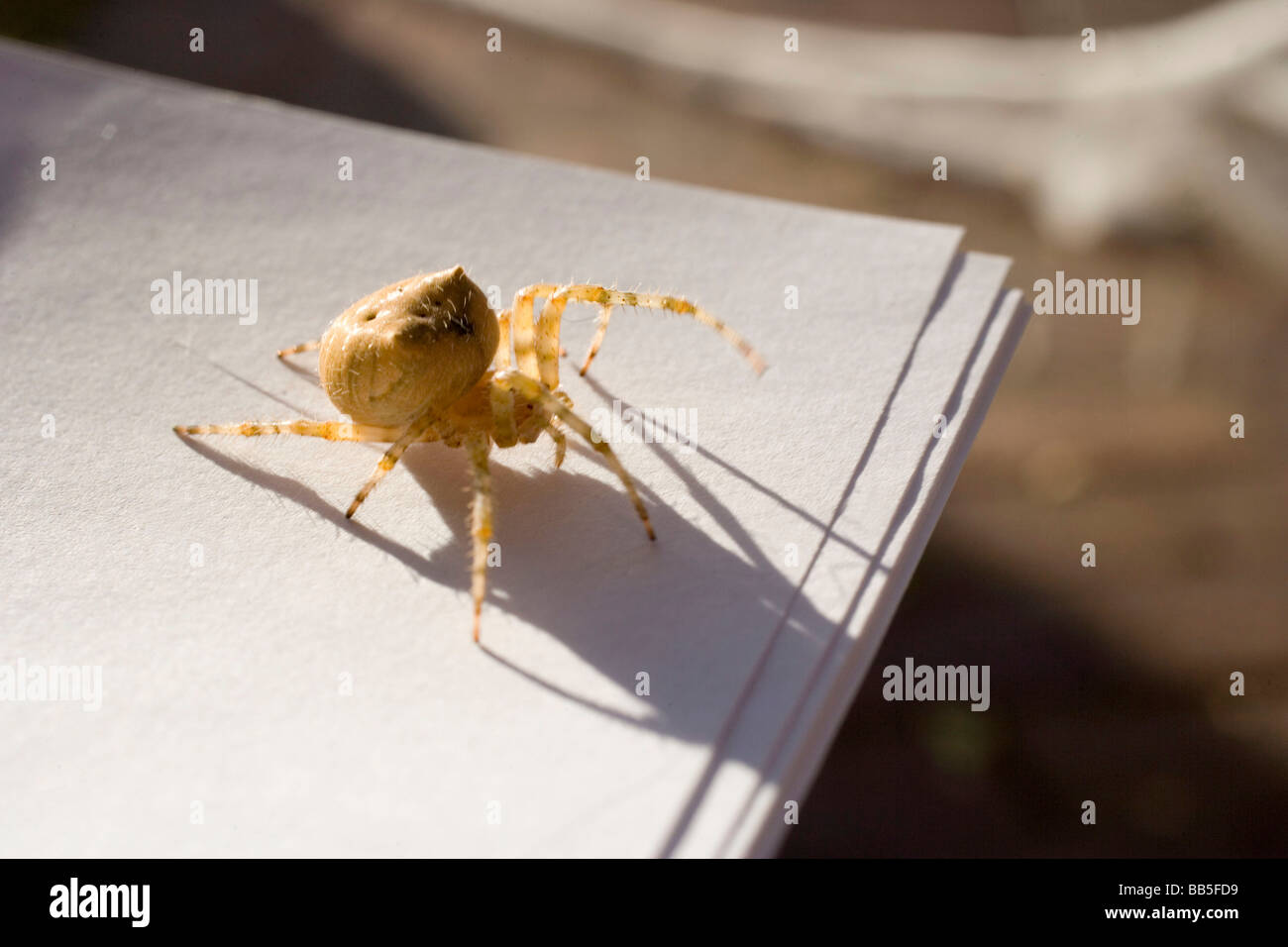 large crab spider walking on paper - Stock Image