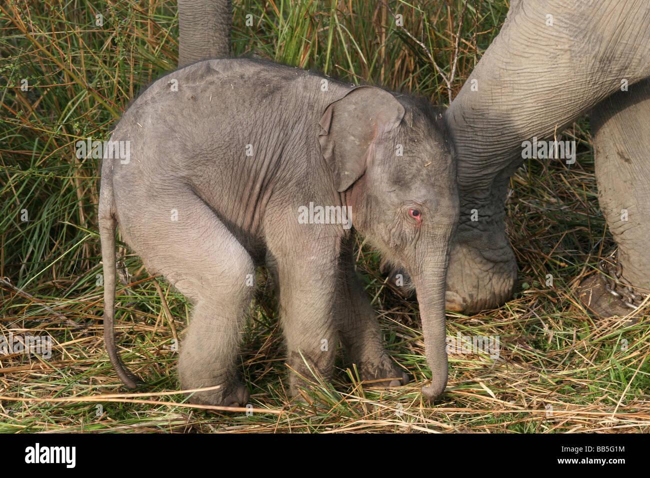 Three Day Old Indian Elephant Elephas maximus indicus Taken In Kaziranga National Park, Assam, India - Stock Image