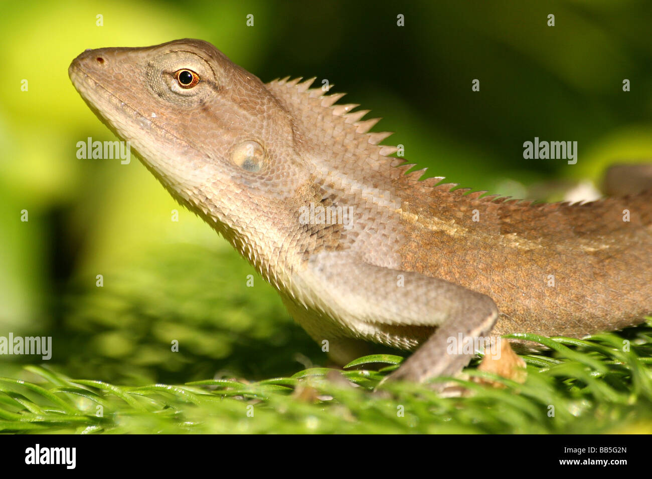 close up of head of oriental garden lizard calotes versicolor taken in assam state - Garden Lizard