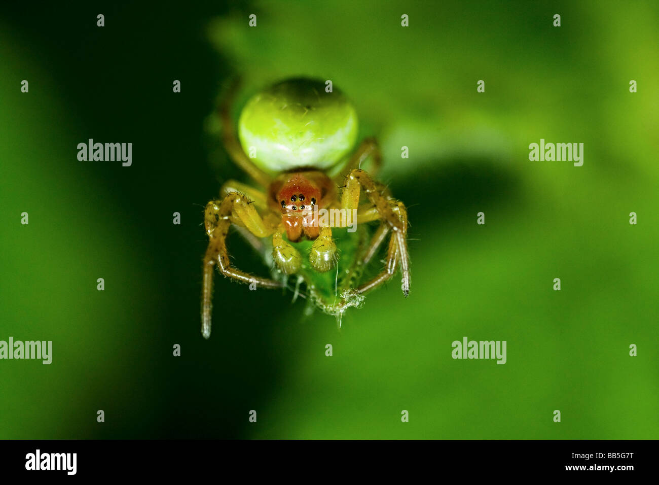 A close up of a cucumber green spider - Stock Image