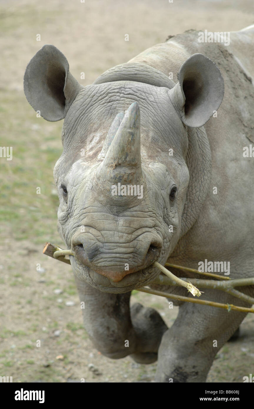 Black Rhinoceros charging with twigs in it's mouth - Stock Image