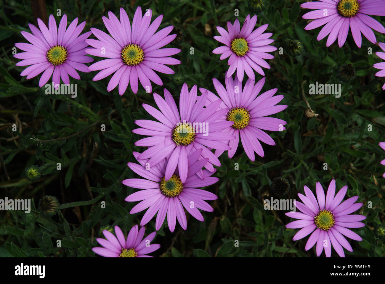 Osteospermum Barberae Purple Flower Flowers Daisy Like Stock Photos