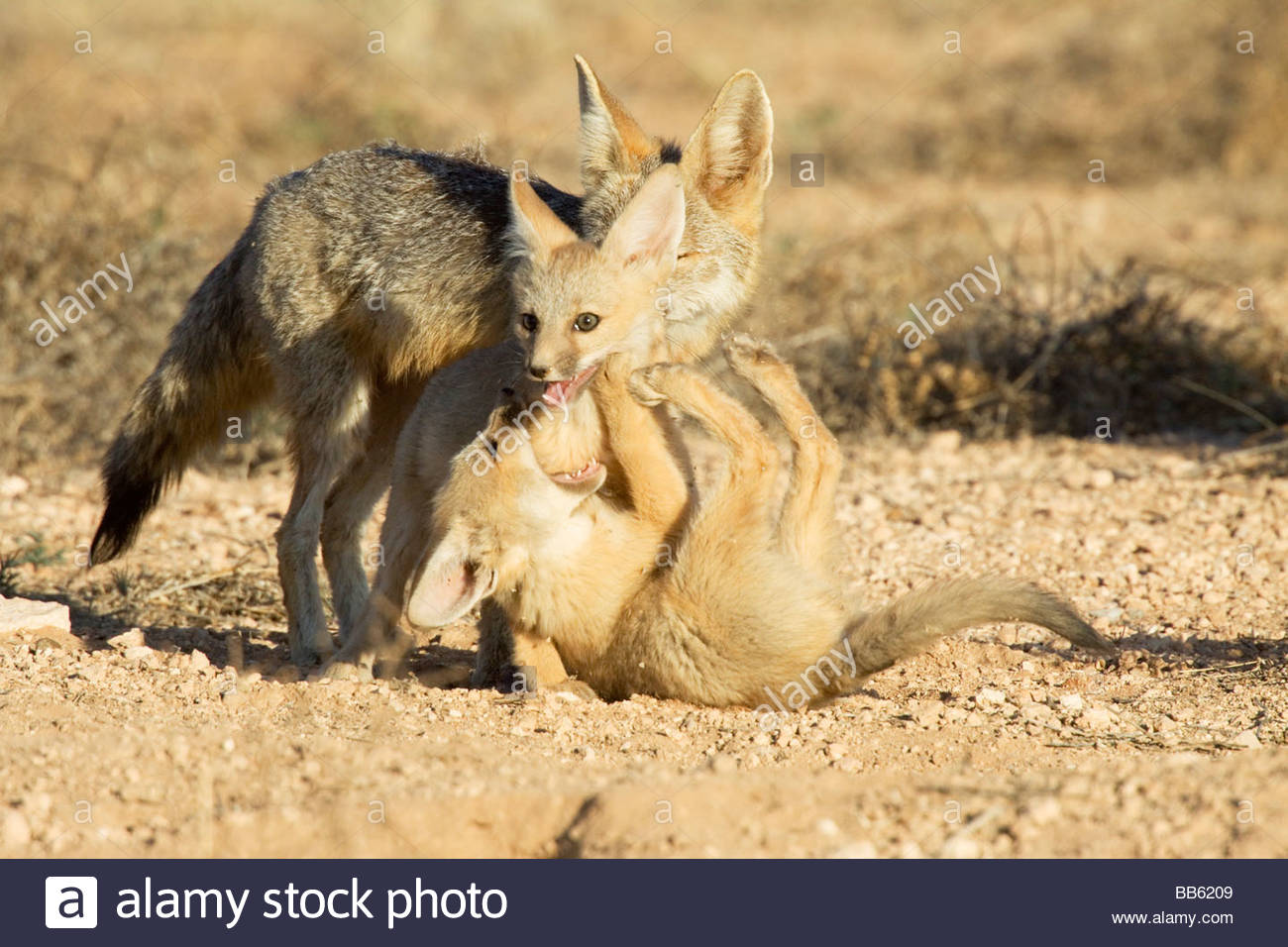 kit-foxes-vulpes-macrotis-pups-playing-BB6209.jpg